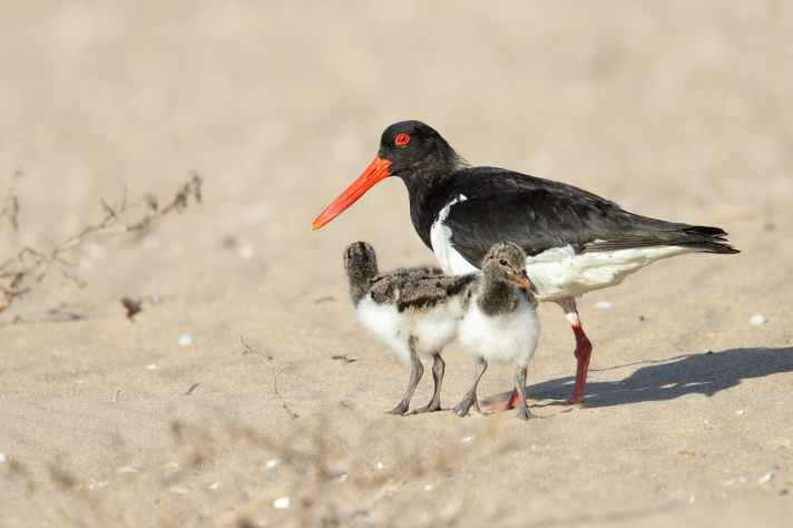 4F5A6403_Pied_oystercatcher_adult_and_chicks